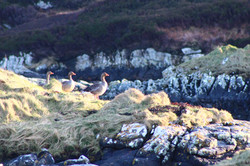 Geese, Isle of South Uist
