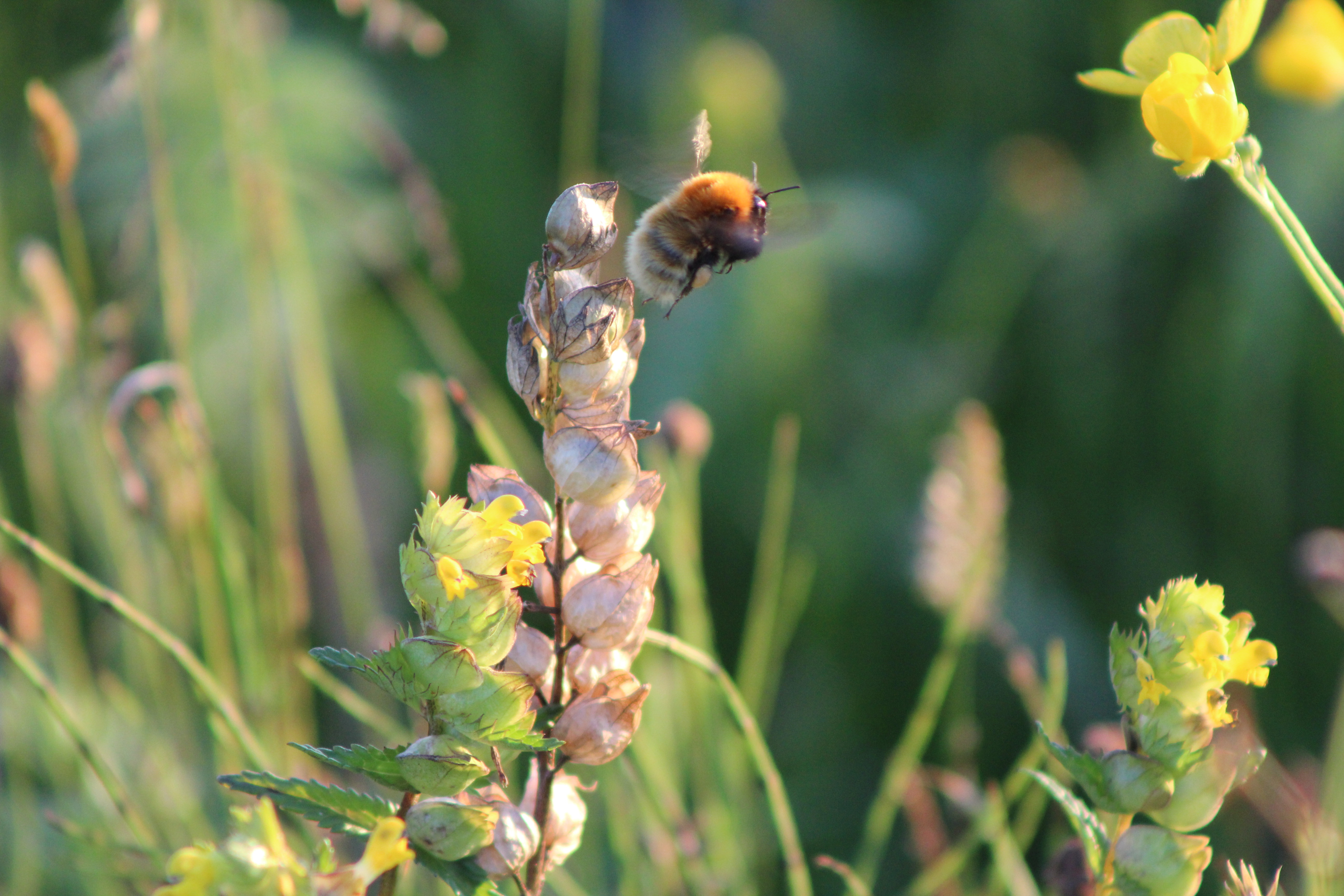 Bee, Isle of South Uist