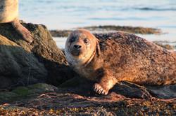 Seal, Isle of Benbecula
