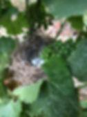 nid oiseau vignes 2019 (2).JPG
