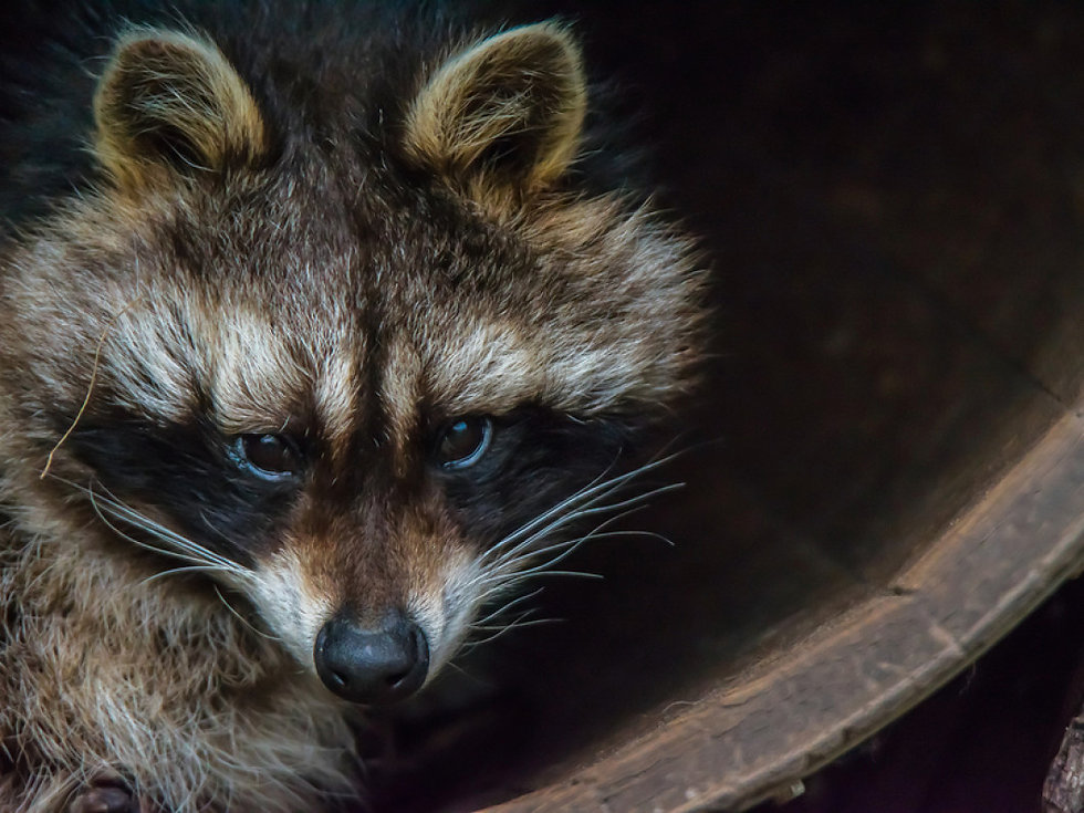 A-Raccoon-Sitting-In-A-Barrel-232612393.