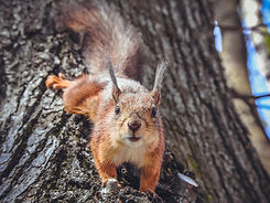 bigstock-Squirrel-On-Tree-Closeup-Of-C-2