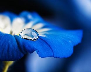 blue flower with a dew drop.jpg