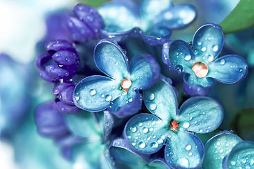 Blue lilac flowers closeup with water dr