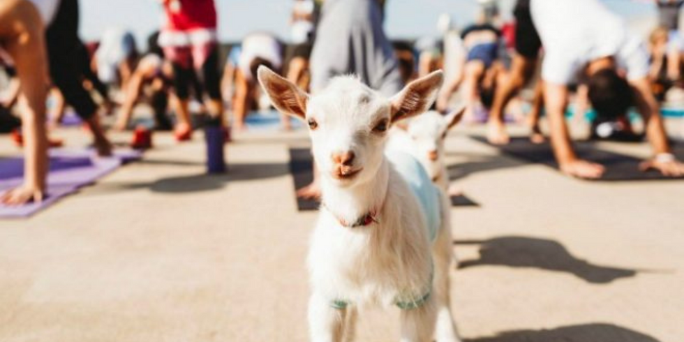 Yoga With Goats! May 9th