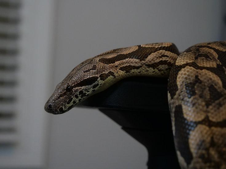 Male Dumeril's Boa