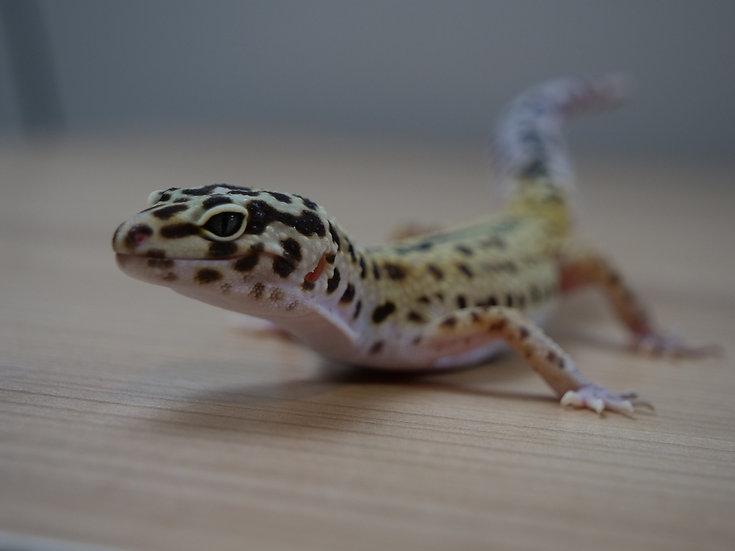 Adult Male Leopard Gecko