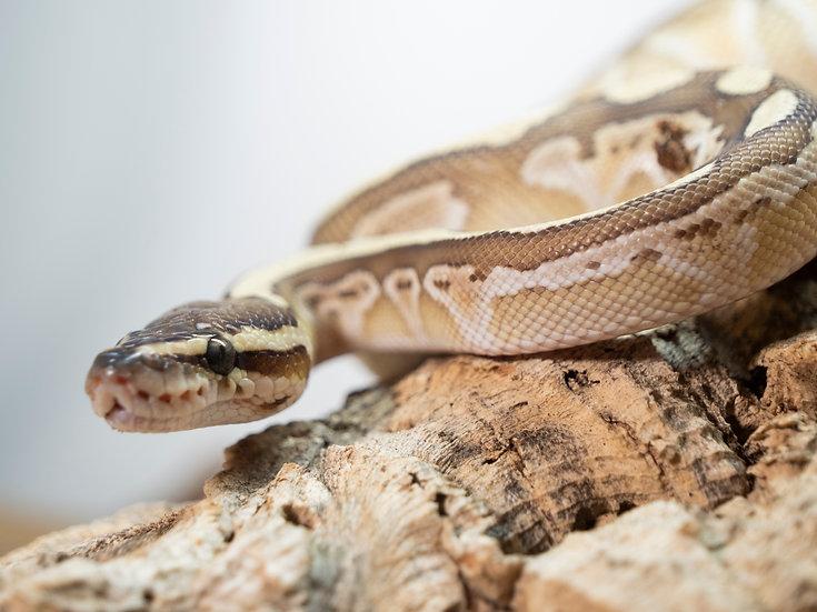 Juvenile Male Pastel Lesser Ball Python