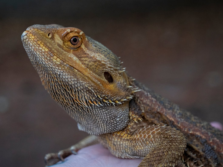 "Adult Male Bearded Dragon ""Lucius"""