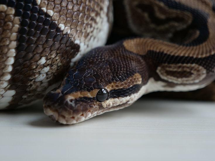 Adult Normal Ball Python