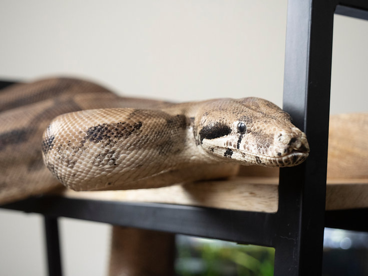 Female Ghost Boa Constrictor