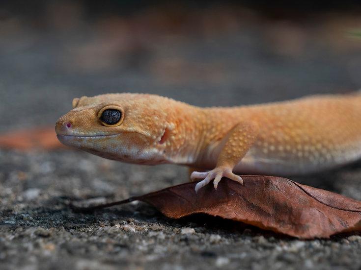 Patternless Female Leopard Gecko