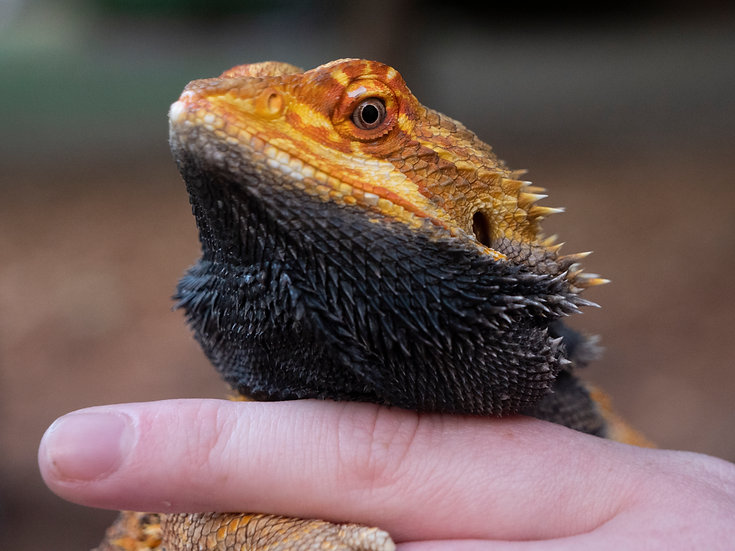 Red Sub-Adult Male Bearded Dragon