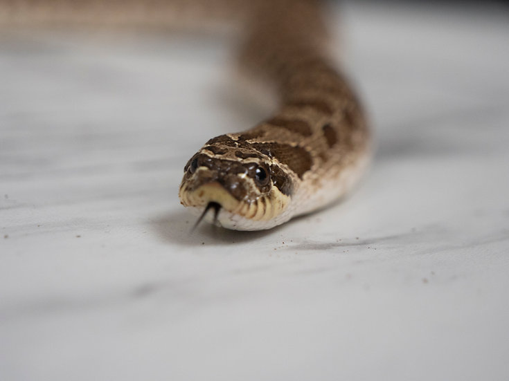 Anaconda Western Hognose