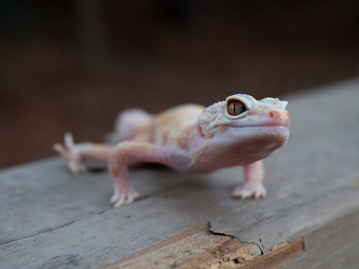 Mack Snow Albino Juvenile Male Leopard Gecko (Special Needs)