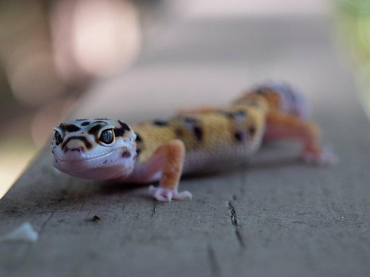 Juvenile Leopard Gecko