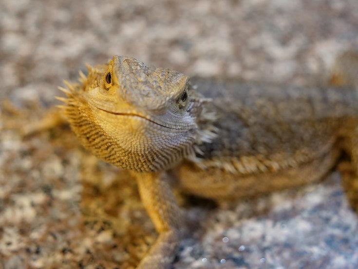 Juvenile Male Bearded Dragon