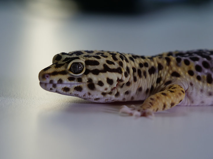 Adult Male Giant Leopard Gecko