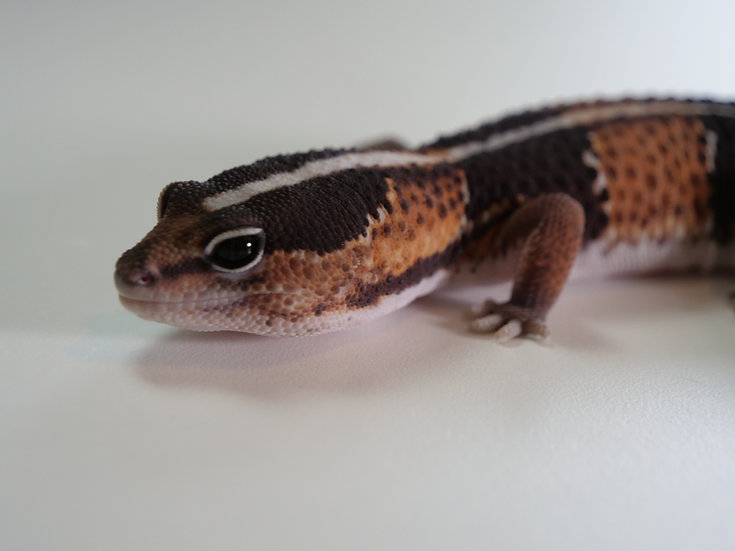 Adult Male Striped African Fat Tailed Gecko