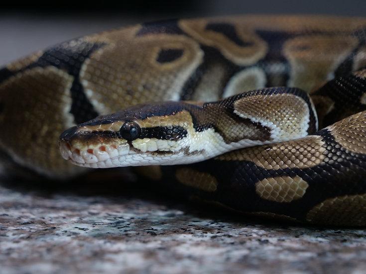 Subadult Male Ball Python