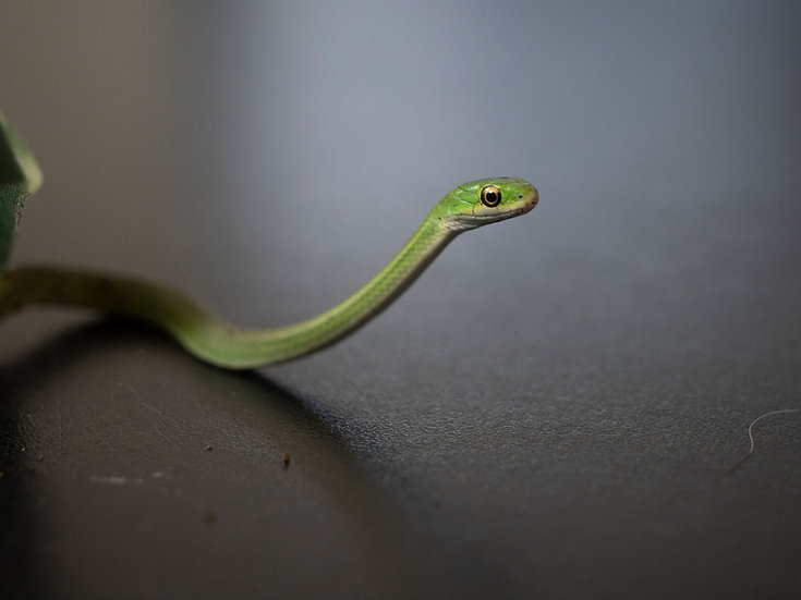 Captive Bred Rough Green Snake