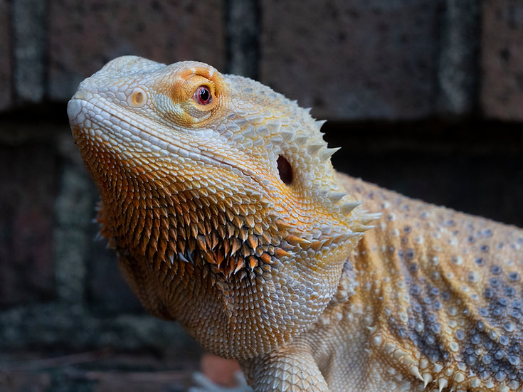 "Adult Female Bearded Dragon ""Narcissa"""