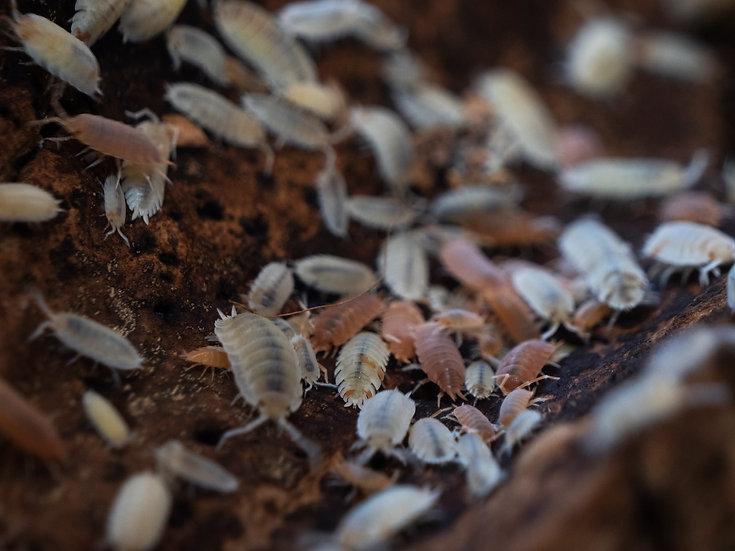 Mix of Dalmatian and Orange Isopods (15 ct)