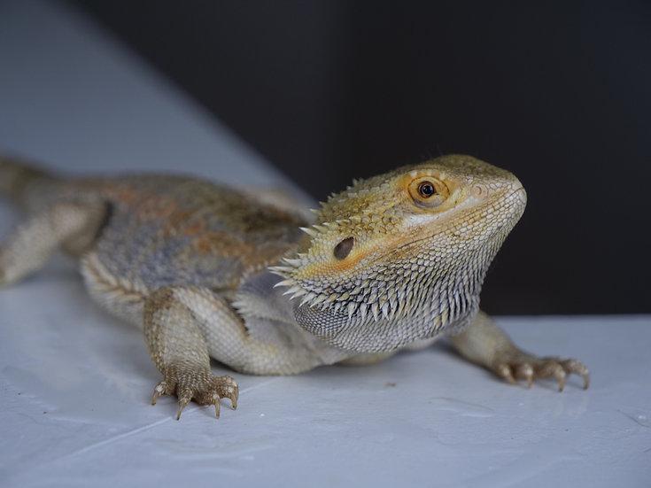 Adult Female Bearded Dragon