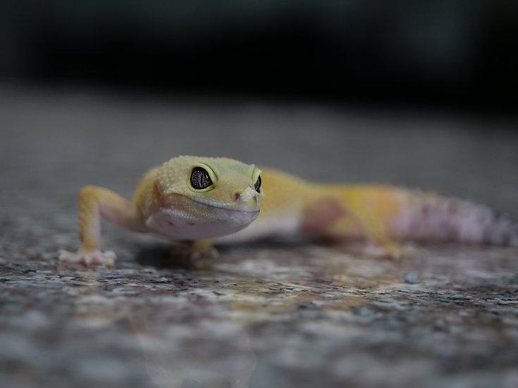 Hypo Female Leopard Gecko