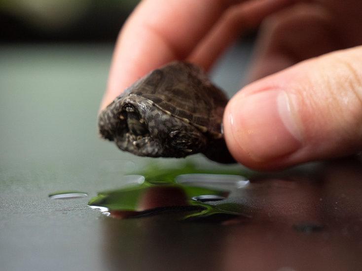 Baby Musk Turtle