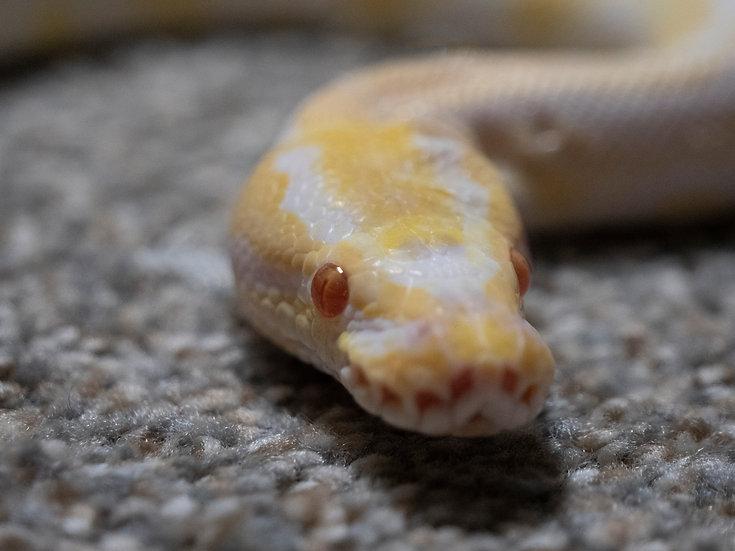 Female Albino Ball Python