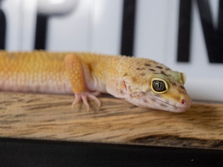 Female Hypo Albino Leopard Gecko