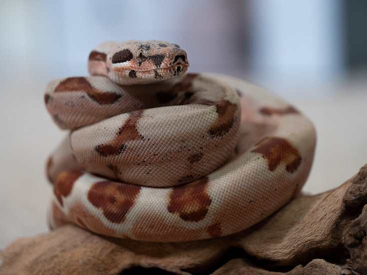 Male Juvenile Super Hypo BCI