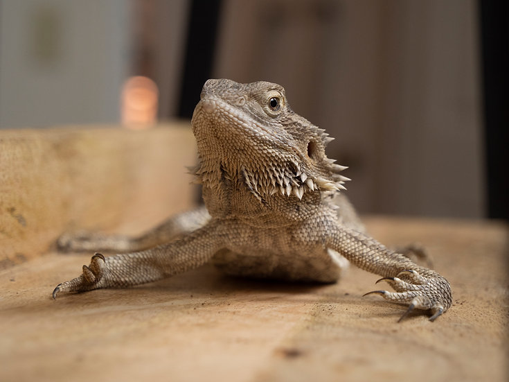 Female Bearded Dragon (with MBD)