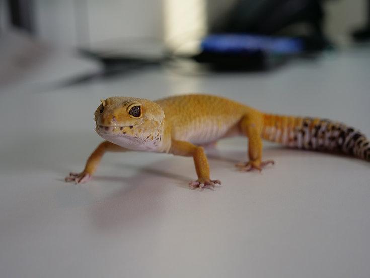 Adult Female Patternless Leopard Gecko