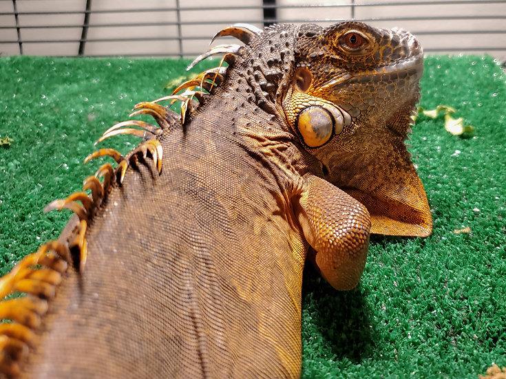 SubAdult Red Iguana
