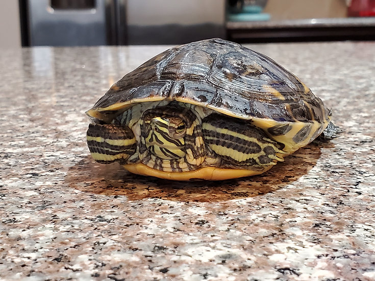 Sub-Adult Male Yellow Bellied Slider