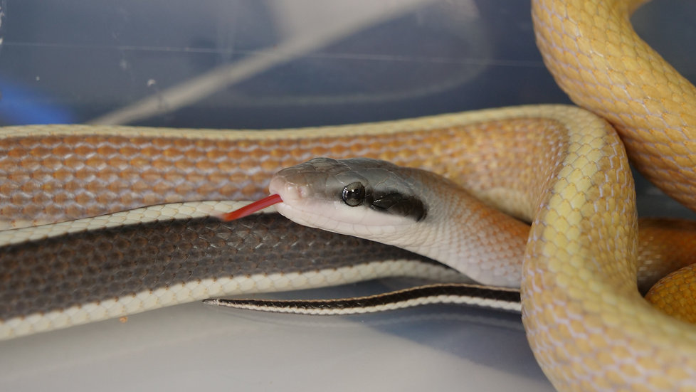 Ridley's Thailand Cave Racer