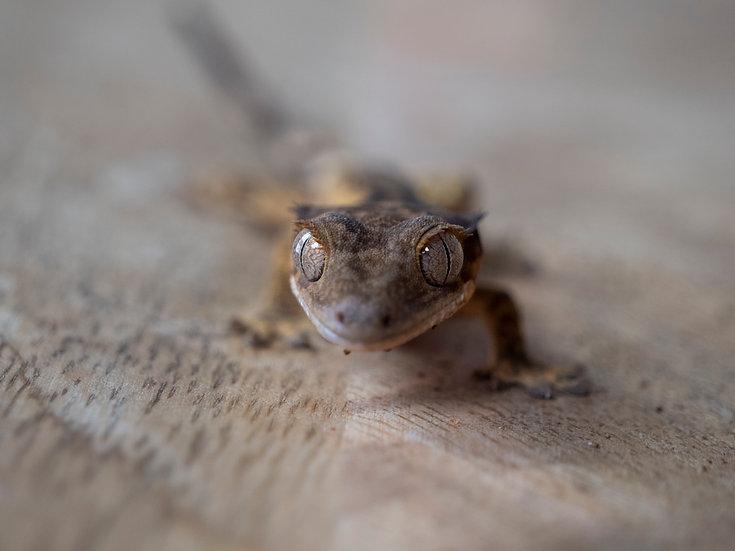 Juvenile Flame Crested Gecko