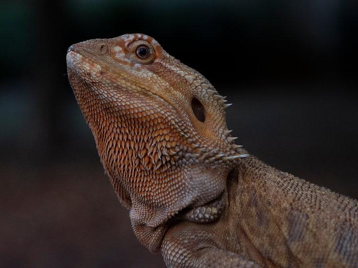 Adult Female Orange Bearded Dragon
