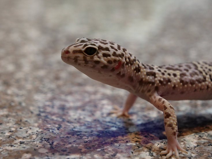 Adult Male Leopard Gecko (Regrown tail)