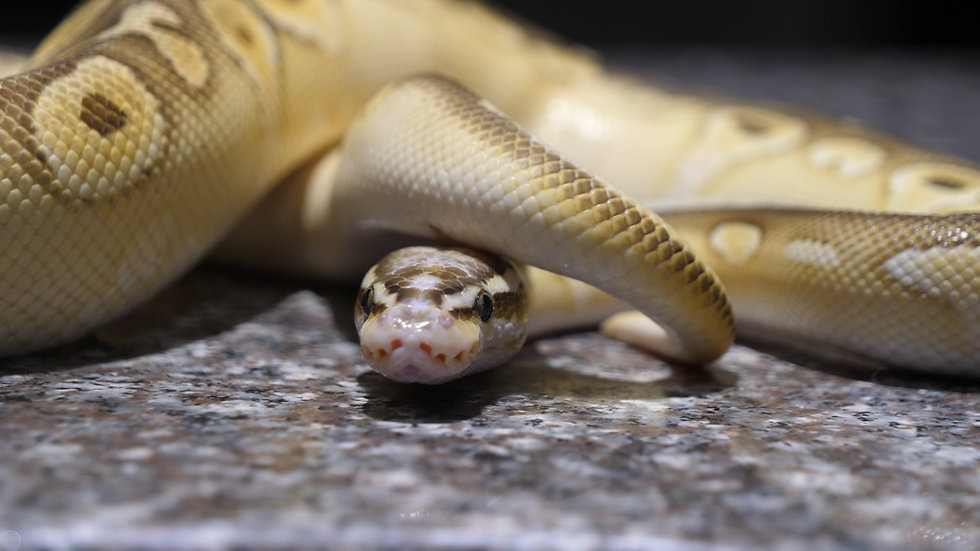Female Pastel Butter Ball Python