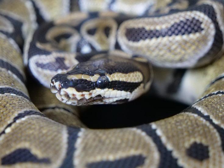 Sub-Adult Male Normal Ball Python