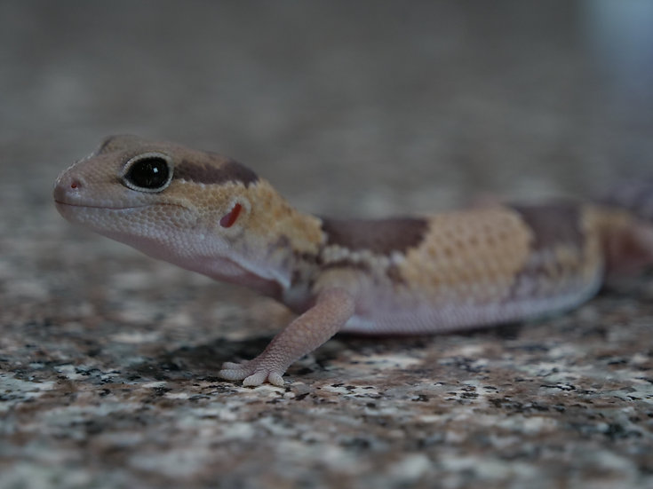 Female African Fat Tail Gecko