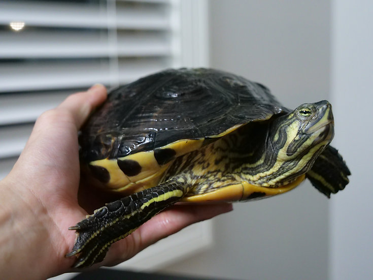 Adult Female Yellow Bellied Sliders
