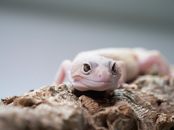Male Blizzard Leopard Gecko