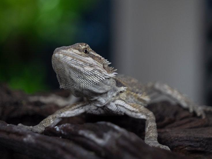 Juvenile Bearded Dragon