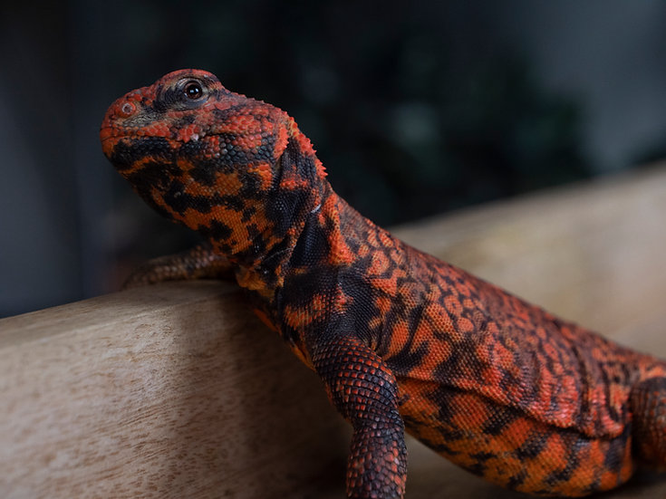 Male Saharan Red Uromastyx