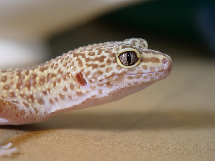 Adult Female Tremper Albino Leopard Gecko