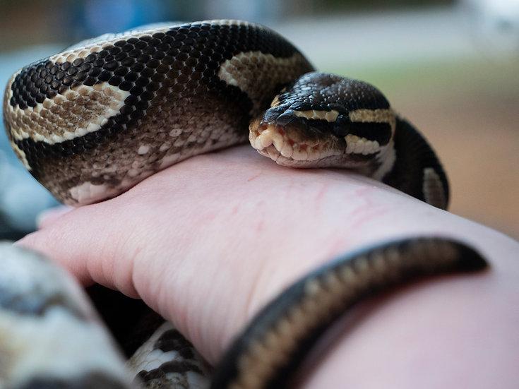 Adult Female Vanilla Ball Python